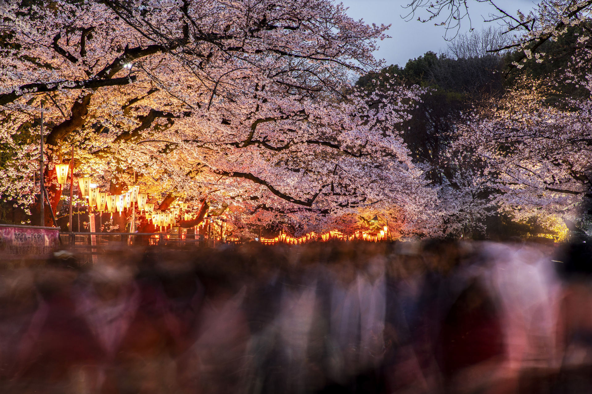 Sydney travel photographer, country, adventure, photo tour, travel photography, destinations, award winning, tips, lessons, Tokyo, Cherry Blossom, Sakura, Ueno park, Japan, tree